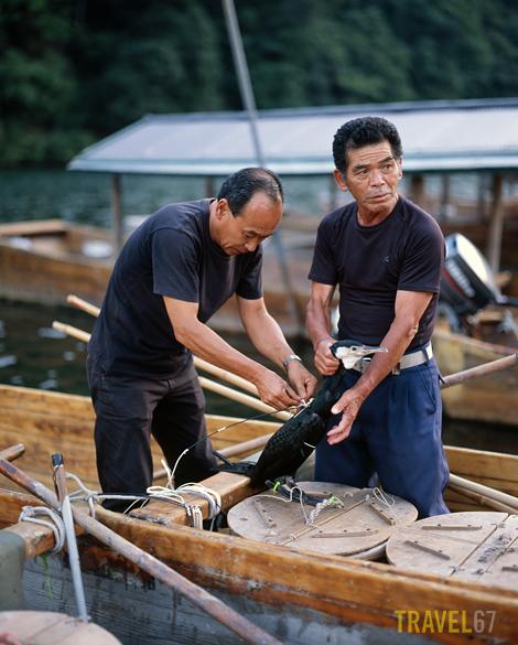 Ukai fishermen attach a harness to the cormorant