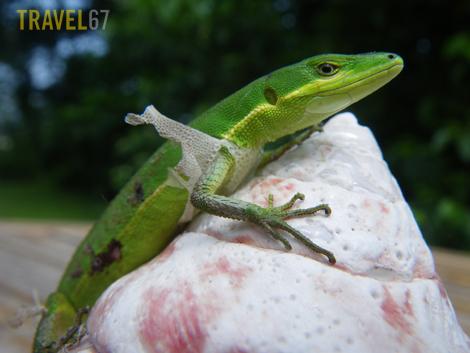 Okinawan Lizard (Pentax W60)