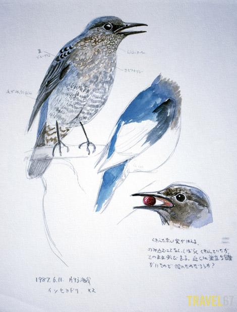 Blue Rockthrush (Iso-hiyodori) Illustration