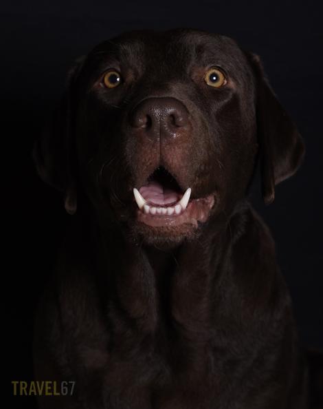 Hungry Labrador Retriever Pentax 645D