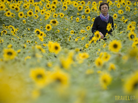 Sunflower Festival in Kitanakagusku Village, Okinawa