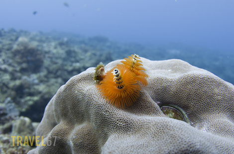 Christmas Tree Worms at Kadena Steps, Okinawa