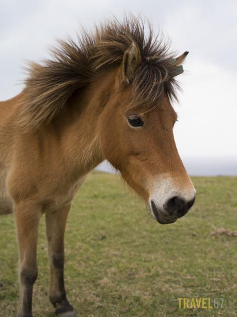 Yonaguni Pony