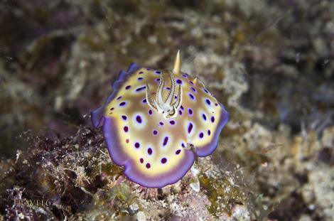 Nudibranch - Chomodoris kuniei