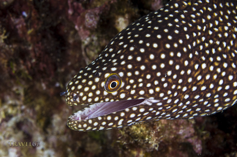 Whitemouth moray, Malibu Beach, Okinawa