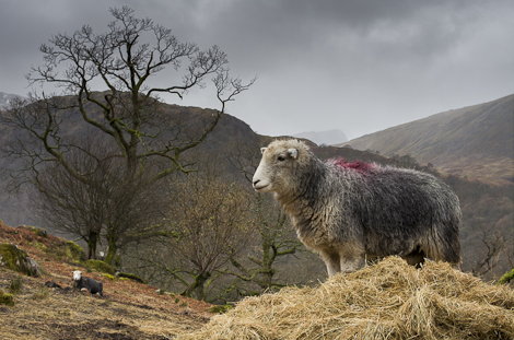 Sheep in Borrowdale Valley, The Lake District, Cumbria, U.K.