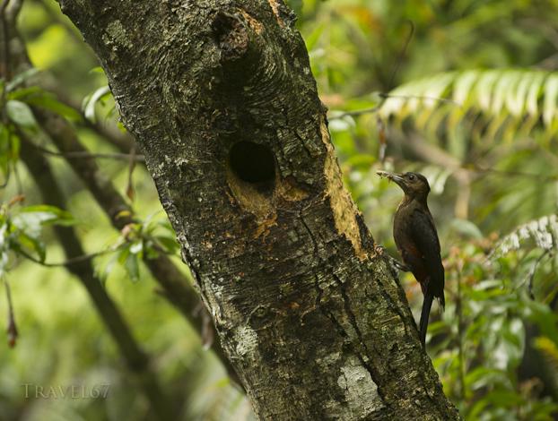 Noguchi-gera, Pryer's Woodpecker, Sapheopipo noguchii