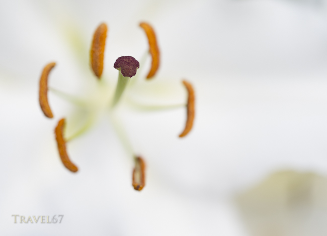 Ie Lily Festival, Ie Island, Okinawa, Japan