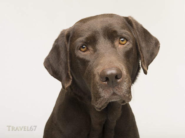 Chocolate Labrador Retriever Dog Studio Portrait White Background