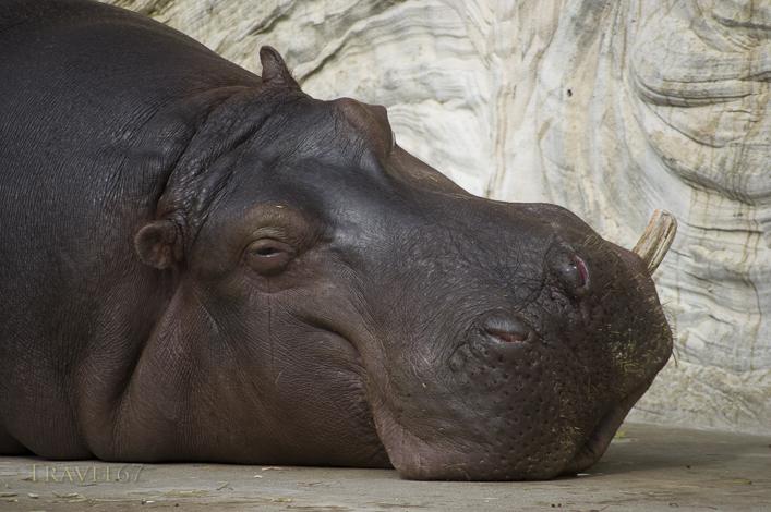 Hippo Tears