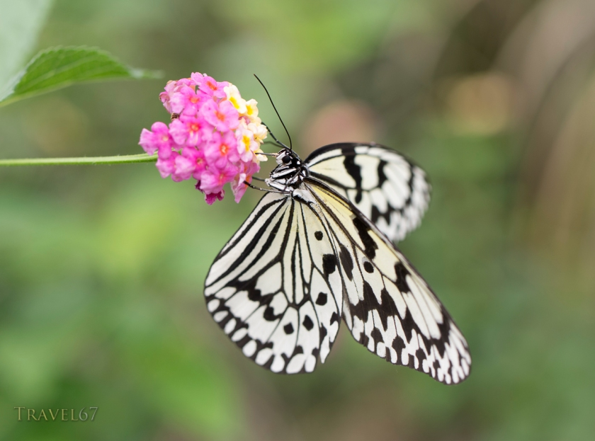Idea leuconoe -  Rice Paper Butterfly,  (oogomadara)