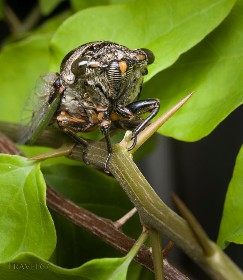 Cicada - Okinawa, Japan.