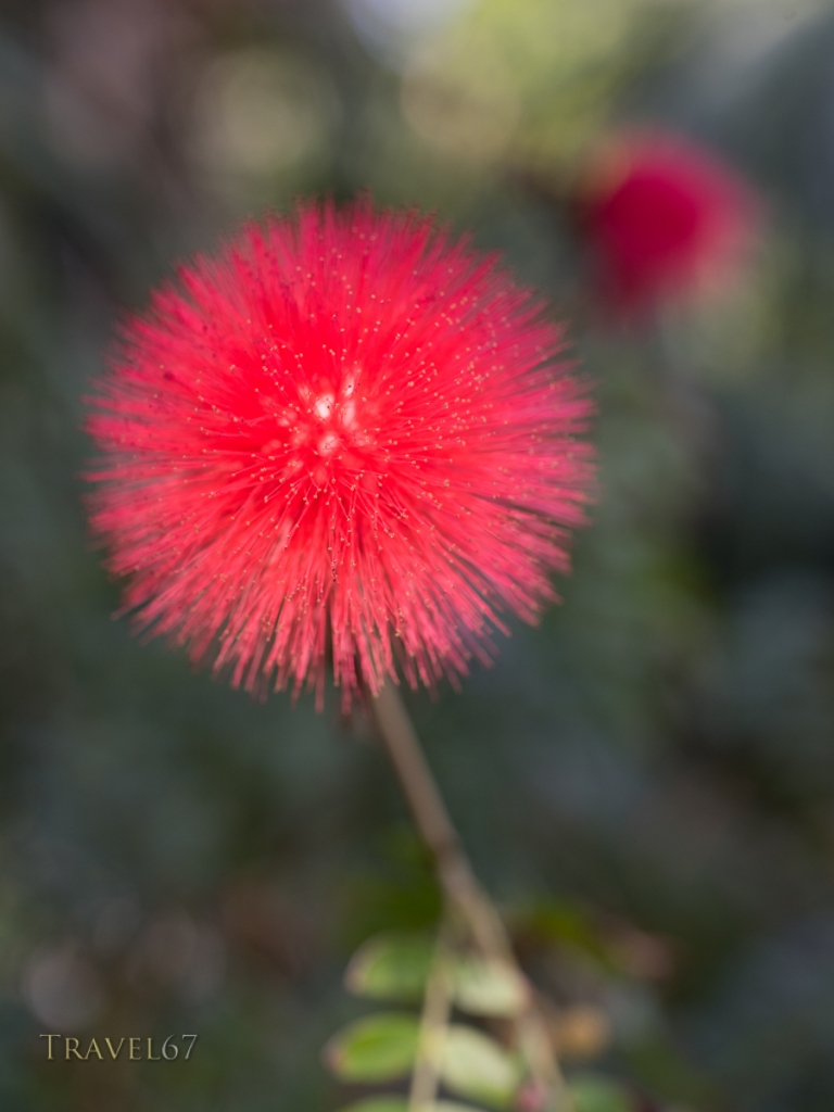 Red Powder Puff, Calliandra haematocephala,