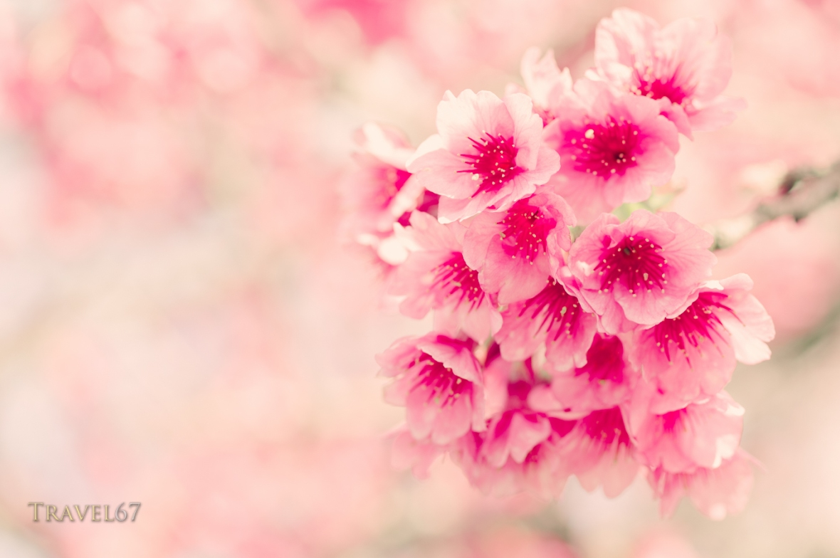 Okinawa Cherry Blossom, Motobu
