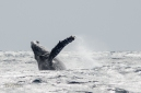 Humpback Whale Breaches off the coast of Ie Island, Okinawa, Japan