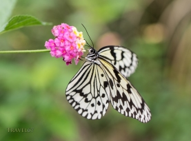 Idea leuconoe - The Paper Kite, Rice Paper, or Large Tree Nymph butterfly , Aka Island, Kerama Islands, Okinawa, Japan