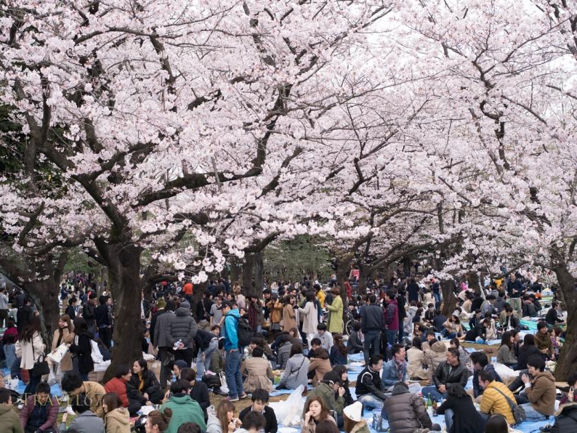 Hanami Cherry Blossom Parties in Yoyogi Park, Tokyo