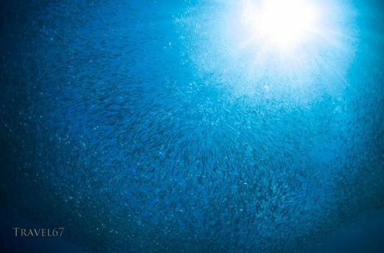 Spratelloides gracilis - Silver-stripe round herring shoal / bait ball at Cape Maeda, Okinawa.