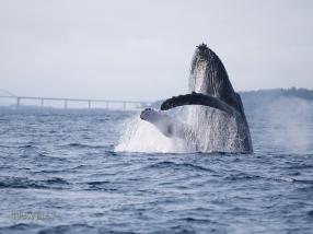 Humpback whales off the coast of Motobu, Okinawa, Japan