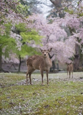 Deer in Nara Park among the cherry blossom. Nara, Japan
