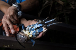 Coconut Crab ( Birgus latro ) monitoring in Motobu, Okinawa, Japan the northern most habitat of the species. Marine biologist Shinichiro Oka holding a female crab with fertilized eggs.