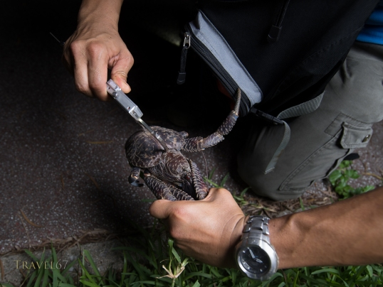 Coconut Crab ( Birgus latro ) monitoring in Motobu, Okinawa, Japan the northern most habitat of the species. Marine biologist Shinichiro Oka measuring the size of a crab.