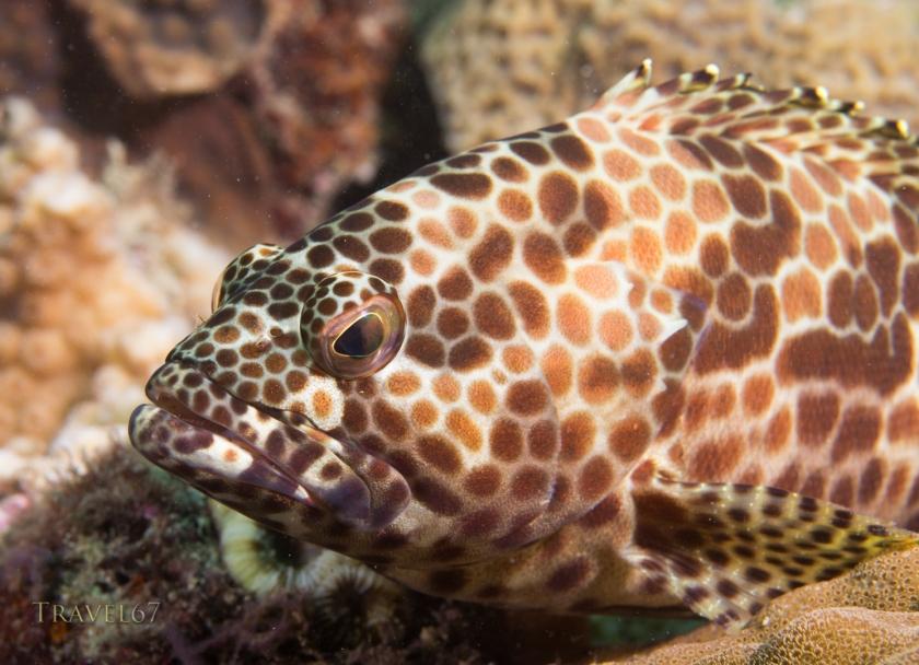 (Epinephelus merra) Honeycomb grouper
