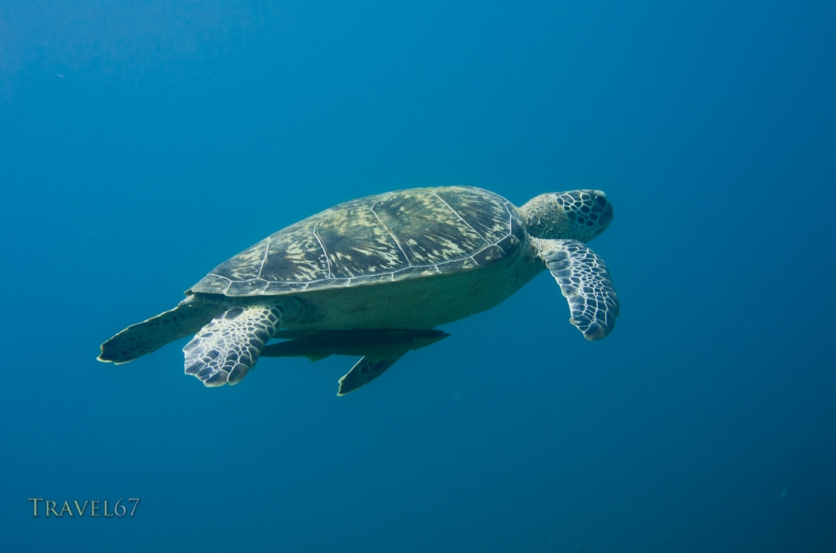 Green sea turtle (Chelonia mydas) with common remora (Remora remora), Onna Coast, Okinawa, Japan. Indo-Pacific