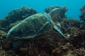 Green sea turtle (Chelonia mydas) with common remora (Remora remora), Onna Coast, Okinawa, Japan. Indo-Pacific