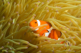 False Clown Anemonefish, Amphiprion ocellaris, Onna Coast, Okinawa, Japan. Indo-Pacific