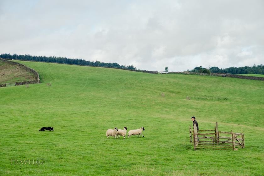 Sheep Dog Trials, Cumbria, United Kingdom